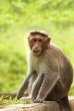Adult indian rhesus macaque monkey(macaca mulatta) Royalty Free Stock Images