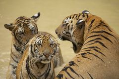 Adult Indochinese male tiger growls to the female. Stock Photo