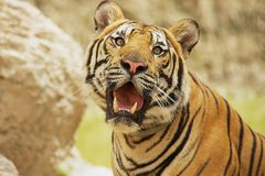Adult Indochinese tiger. Royalty Free Stock Images