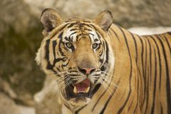 Adult Indochinese tiger. Royalty Free Stock Photography
