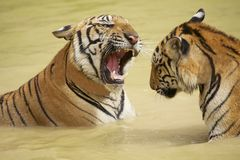 Adult Indochinese tigers fight in the water. Royalty Free Stock Photos