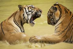 Adult Indochinese tigers fight in the water. The Indochinese tiger (Panthera tigris corbetti) is a tiger subspecies found in the Indochina region of royalty free stock photography