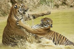 Adult Indochinese tigers fight in the water. Royalty Free Stock Images