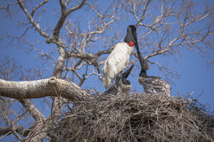 Adult Jabiru Stork and Chick Kissing in Nest Royalty Free Stock Images