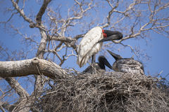 Adult Jabiru Stork Preening in Nest  while Chicks Watch Royalty Free Stock Photos
