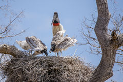 Adult Jabiru Watching Chicks Eat Apple Snail in Nest Stock Photography