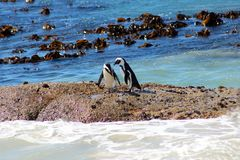 African Penguin on Boulders Beach. Adult Jackass penguin walking on the beach in South Africa with the tide coming in behind it Stock Photo