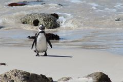 African Penguin on Boulders Beach. Adult Jackass penguin walking on the beach in South Africa with the tide coming in behind it Royalty Free Stock Photo