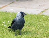 Eurasian Jackdaw on grass, showing Plumage Detail. Adult Jackdaw on Brownsea Island, showing its defined plumage and pale blue eye Royalty Free Stock Photo