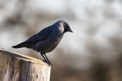 Adult jackdaw side view Royalty Free Stock Photo