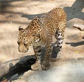 Adult Jaguar or Panthera Onca in Safari Stock Photo