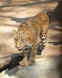 Adult Jaguar or Panthera Onca in Safari Royalty Free Stock Photography