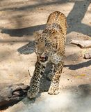 Adult Jaguar or Panthera Onca in Safari Stock Photography