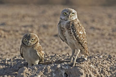 Adult and juvenile Burrowing Owl, Athene cunicularia Stock Images