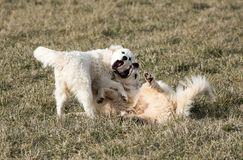 Great Pyrenees dogs wrestle Stock Photography