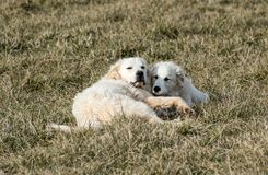 Great Pyrenees dogs. An adult and juvenile pyrenees dogs playing Royalty Free Stock Image