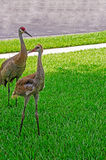 Adult and Juvenile Sandhill Cranes Royalty Free Stock Photos