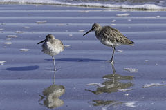 Adult and juvenile sandpipers in the surf on Jekyll Island. Stock Image