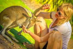 Kangaroo eating from hand royalty free stock photo