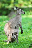 Adult kangaroo with joey in its pouch. Adult grey kangaroo with a joey in its pouch Stock Photos