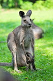 Adult kangaroo with joey in its pouch Royalty Free Stock Photo