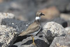 Adult Kentish Plover Water Bird Royalty Free Stock Image