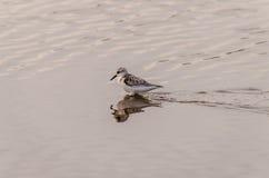 Adult Kentish Plover Water Bird Stock Image