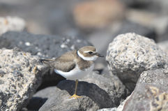 Adult Kentish Plover Water Bird Stock Photography