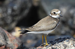 Adult Kentish Plover Water Bird Royalty Free Stock Photo