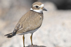 Adult Kentish Plover Water Bird Stock Photo