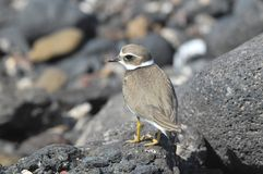 Adult Kentish Plover Water Bird Stock Photos