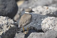 Adult Kentish Plover Water Bird Royalty Free Stock Images