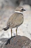 Adult Kentish Plover Water Bird Royalty Free Stock Photography