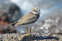 Adult Kentish Plover Water Bird Stock Images