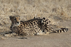 Adult King Cheetah laying on ground Stock Photo