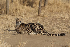 Adult King Cheetah laying on ground Royalty Free Stock Photos