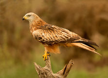Adult of kite on a natural innkeeper Royalty Free Stock Images