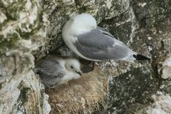 An adult Kittiwake Rissa tridactyla and its cute chick nesting on the edge of a cliff in the UK. An adult Kittiwake Rissa tridactyla and its sweet chick nesting royalty free stock image