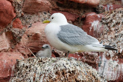 Adult kittwake and young. Kittiwake adult looking after its young, off the Scottish coast Stock Images