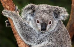 Adult Koala. Australian marsupial the koala. This one is awake which is seldom royalty free stock image