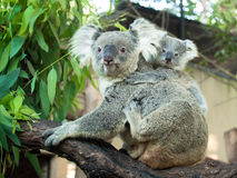Adult koala sitting on a branch and holds on his back a little baby Stock Photography