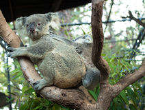 Adult koala sitting on a branch and holds on his back a little baby Stock Image