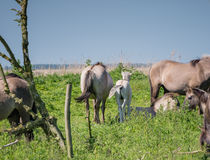 Adult Konik horse and foal Stock Image