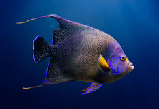 Adult Koran angelfish Royalty Free Stock Image