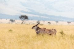 Kudu and oxpeckers in the Masai Mara Royalty Free Stock Images