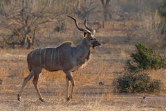 Adult kudu bull Royalty Free Stock Images