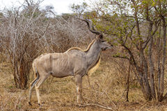 Adult Kudu Feeding Stock Photo