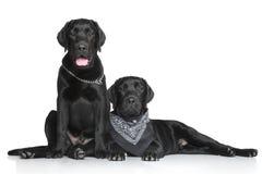 Adult Labrador puppy Lizenzfreie Stockfotos