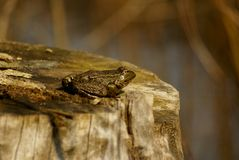 Adult lake frog sunbathing Royalty Free Stock Photography