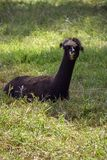 An adult lama in the shade. A black adult lama resting in the shade on thick green grass stock photo